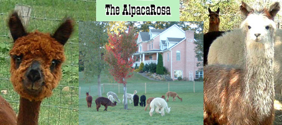 alpacas suris huacaya accoyo